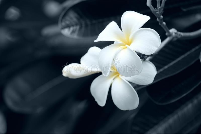 White Flowers Black Backgrounds Represent Grief Nature Beautiful Love Floral Blossom Plant Sad Petal Summer Spring Rose Beauty 157501891 Linda Joy Stone